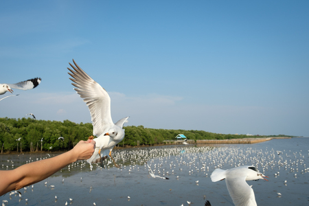 The hand of a woman who feeds the seagulls to eat at The Bang Pu Recreation Center in Samutprakarn, Thailand.