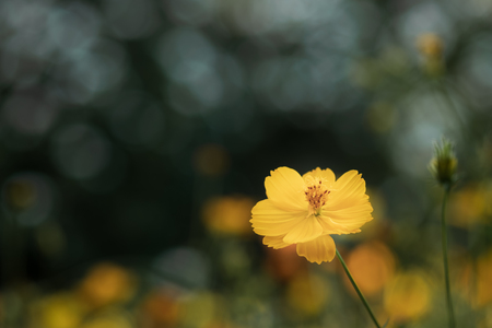 field of blooming yellow cosmos flower in the garden, Thailand. Stock Photo