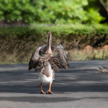 The goose is walking on the ground happily. Stock Photo