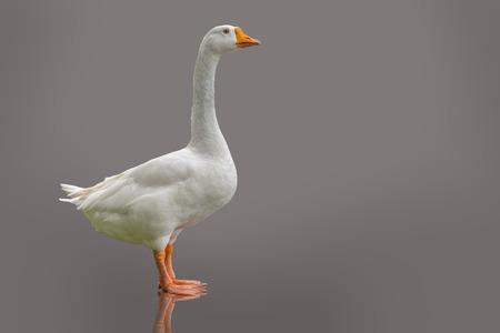 White domestic goose isolated on purple-grey background. Stock Photo