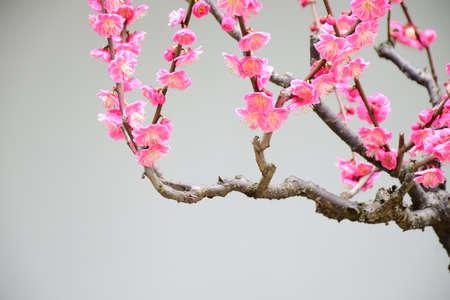 plum flower: red Plum flower