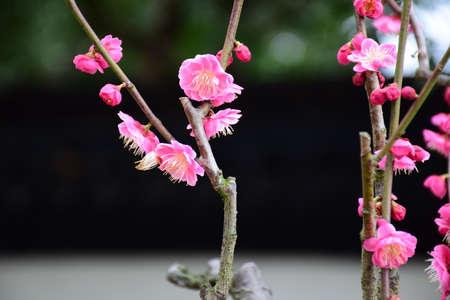 plum flower: Plum flower Stock Photo