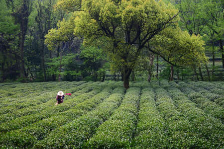 picking: Picking tea leaf Stock Photo