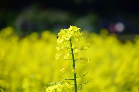 canola plant: canola flowers Stock Photo