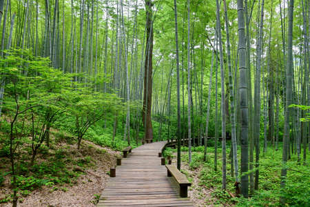 walking path: wooden walking path in the bamboo forest