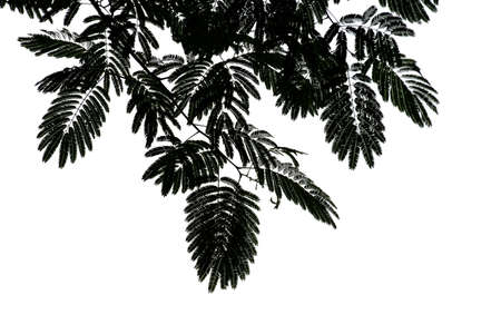 metasequoia: Metasequoia leaves tree silhouette
