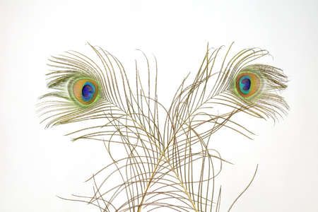 peacock feathers: Peacock feathers