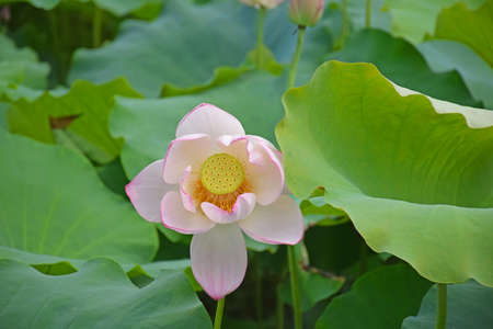 poetic: Lotus