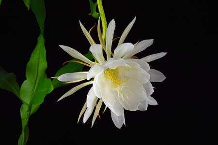 cereus: Blooming cereus