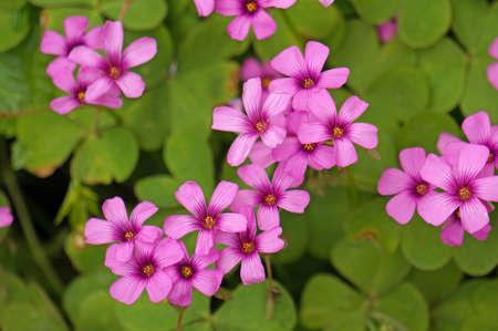 oxalis: Oxalis flowers Stock Photo