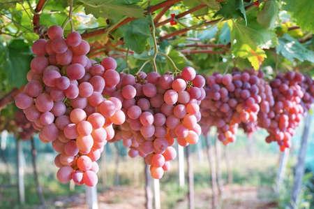uvas: Uvas del vi�edo
