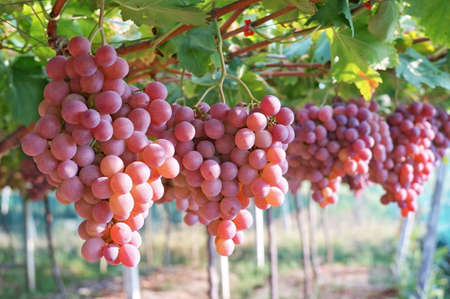 purple red grapes: Vineyard grapes