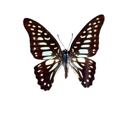 blue butterfly: Broken spot blue Butterfly specimen