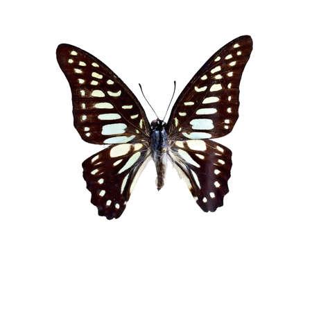 tint: Broken spot blue Butterfly specimen