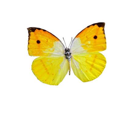 specimen: Orange-winged butterfly specimen