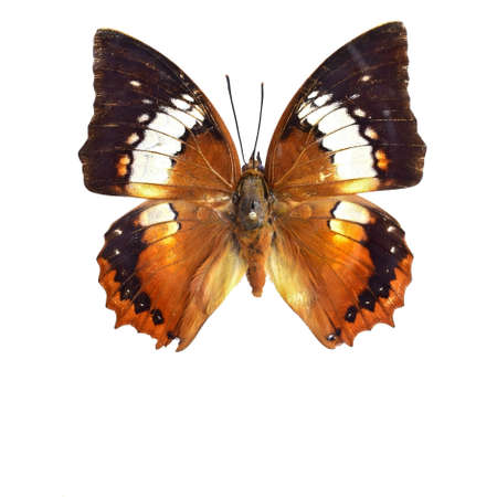 nymphalidae: Mitten Nymphalidae butterfly specimen