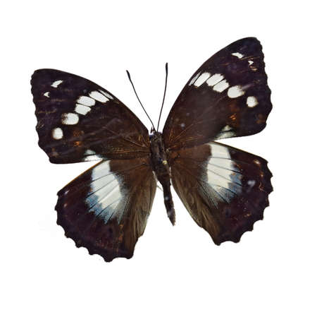 nymphalidae: White spot fans Nymphalidae Butterfly specimen