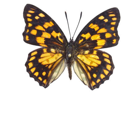 nymphalidae:  Nymphalidae Butterfly specimen Stock Photo