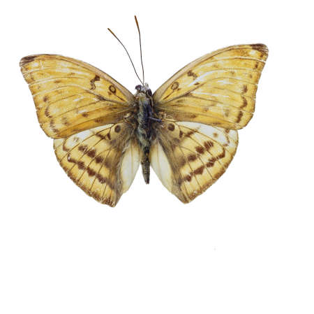 nymphalidae: Nymphalidae Butterfly