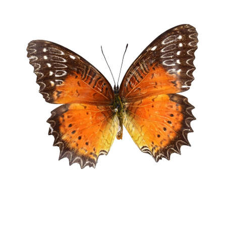 specimen: Red saw Vanessa Butterfly specimen