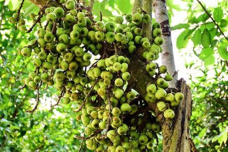 fruitage: Ficus Macrocarpa