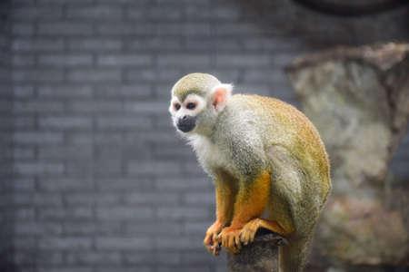 golden: Golden Monkey