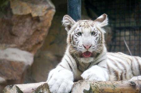 rare animals: White Tiger