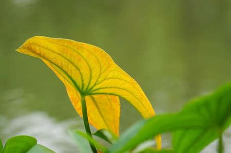 trifolia: Arrowhead leaf close-up
