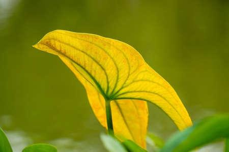 trifolia: Arrowhead leaf Stock Photo