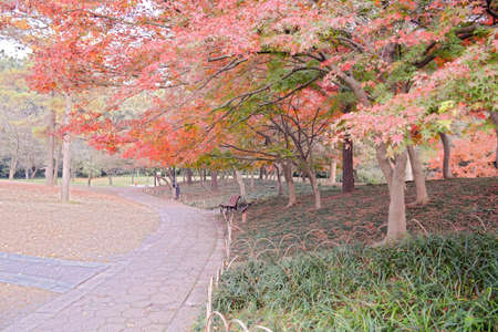 maple trees: Maple Trees in park