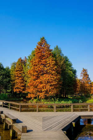 metasequoia: Metasequoia glyptostroboides in autumn
