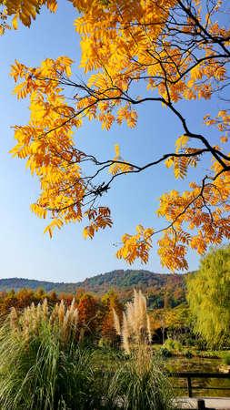 golden: Golden soapberry tree leaves
