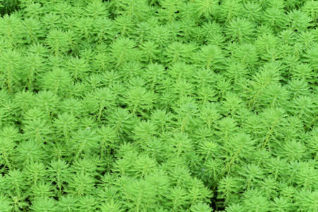 aquatic herb: Myriophyllum