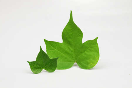 morning glory family: Leaf leaves morning glory family
