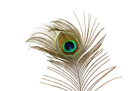 peacock feathers: Peacock feathers closeup
