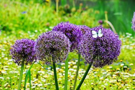allium: Purple Allium Giganteum
