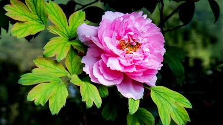 features: Features Peony Stock Photo