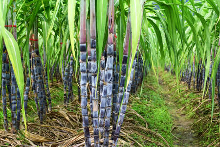 gua: Sugar cane field