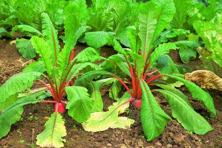 gua: Radish radish leaves