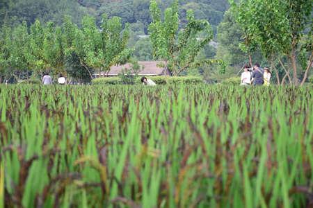 gua: Scenery in Hangzhou gossip field paddy rice Editorial