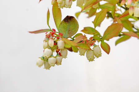blueberry: Blueberry flowers