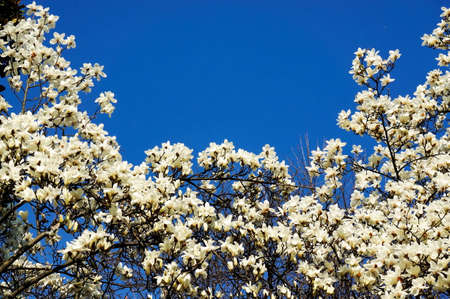 full frames: Blue sky background with  blooming Magnolia