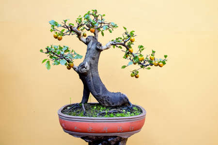 ebenaceae: Jin Danzi potted bonsai Stock Photo
