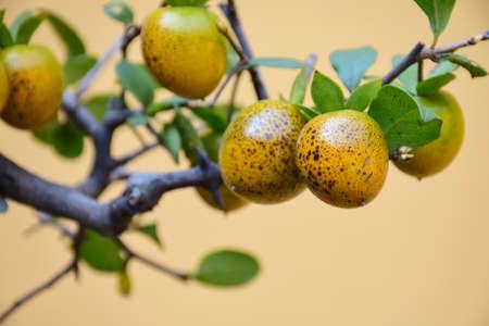 ebenaceae: Jin Danzi