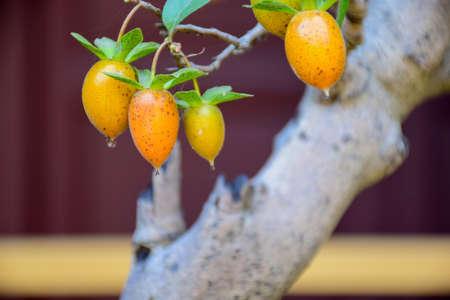 ebenaceae: Close up to Jin Danzi