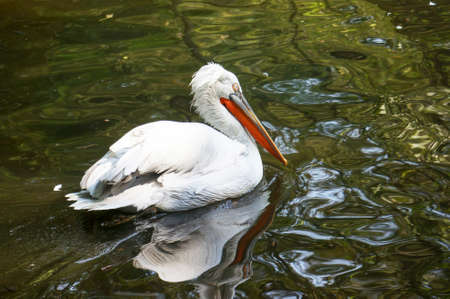 waterfowl: Pelican close-up