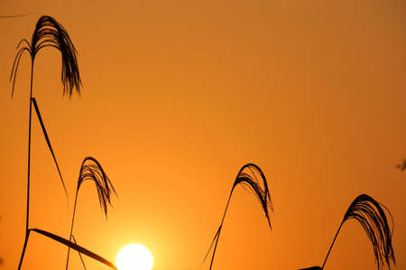 reed: Reed sunset