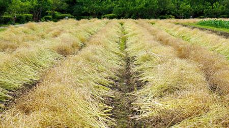 pastoral scenery: canola flower field Stock Photo