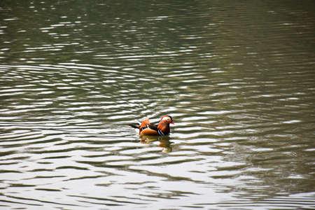 colorful water surface: Mandarin Duck Stock Photo