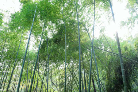 exemplary: Bamboo forest
